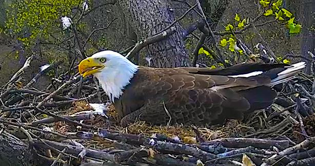 District's Bald Eagle Live Nest Cam!